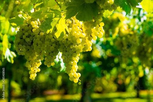 Cuadros en Lienzo Vineyard with growing white wine grapes in Lazio, Italy