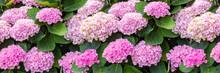 Hydrangea Pink Flowers, Hydran...