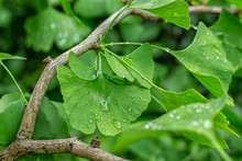 Green Leaves Of Ginkgo Biloba With Raindrops Close-up
