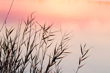 Wild Sedges On The Shore Of A Lake At Sunset