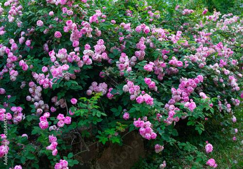 Photo beautiful large rose bush blooming