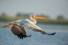 The Great White Pelican Flying. Big White Bird Enjoying The Flight.