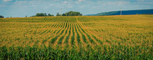 The Cornfield,captured On An August Day In Chuvash Republic In Russia