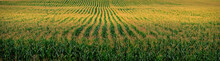 The Cornfield,captured On An A...