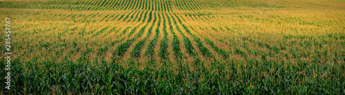 Foto the cornfield,captured on an August day in Chuvash Republic in Russia
