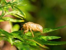 Exuvia Ie Moulted Exoskeleton Of European Cicada On Leaf.