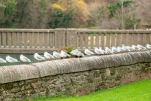 A Line Of Black-Headed Gulls On A Wall
