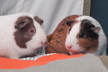A Pair Of Guinea Pigs At Home....