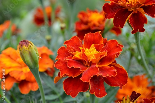 Marigolds (Tagetes) - genus of annual and perennial plants of the family Aster, Wallpaper Mural