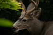 A Whitetail Buck eating leave from a tree in Coldstream, Vernon British Columbia