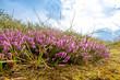Blühendes Heidekraut auf der Insel Amrum im August