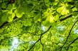 Leinwandbild Motiv Blätter von Kastanienbaum