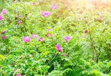Closeup Of Pink Dogrose Or Bri...