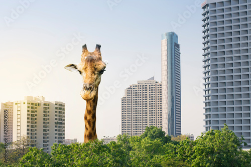 Photo A highest giraffe come up from urban area.