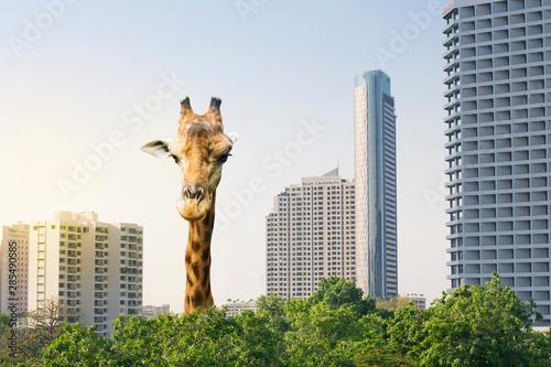 Αφίσα A highest giraffe come up from urban area.