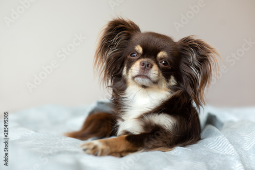 Photo adorable chihuahua dog lying on a bed indoors