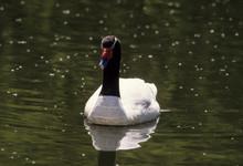 Cygne à Cou Noir,.Cygnus Melancoryphus, Black Necked Swan