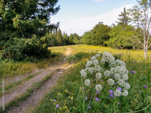 Obraz na plátně  Fleurs sauvages et prairie des hauts plateaux du Vercors, France