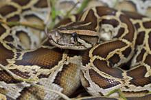 Close Up Of Burmese Python (python Molurus Bivittatus)