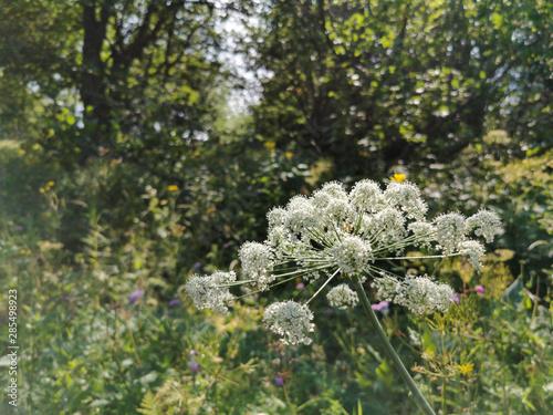 Obraz na plátně  Le fenouil des Alpes, plante herbacée, hauts plateaux du Vercors, France