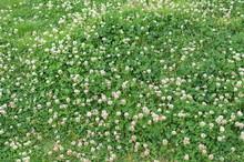 White Clover Small Flowers Gra...