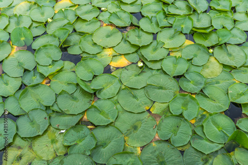 Valokuva Arboretum Lily Pads Close-up 2
