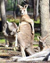 Large Kangaroo Scratching Itself In A National Park