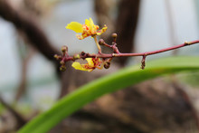 Mini Orchid Yellow Colors With Their Green Leaves