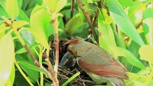 Female Cardinal Bird Standing On Her Birds Nest Cleaning While Her Young Chicks Are Inside Of It.