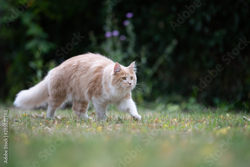 Fototapety, obrazy: young cream tabby ginger white maine coon cat with fluffy tail outdoors in the garden walking on grass looking ahead curiously