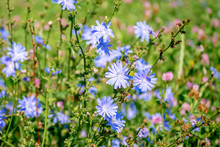 Blue Flowers Of Chicory Large On The Background Of Summer Flowering Meadows. Background. Copy Space