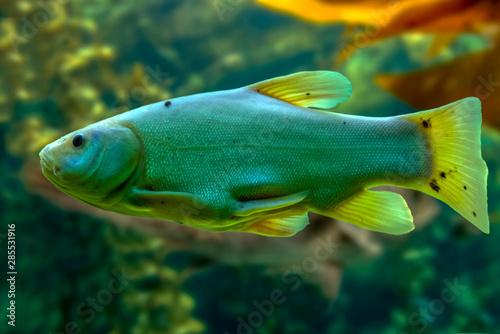 Valokuvatapetti Tinca tinca, Doctor fish, the tench ,Freshwater fish