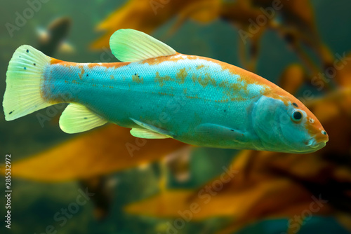 Fotografia, Obraz Tinca tinca, Doctor fish, the tench - Rare color variation