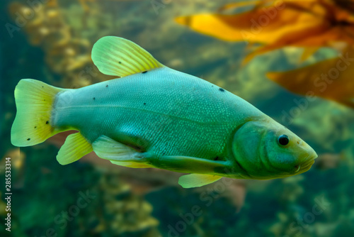 Fototapeta Tinca tinca,  Doctor fish,  the tench  ,Freshwater fish