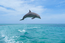 Honduras, Roatan, Bottlenose Dolphin Jumping In The Air