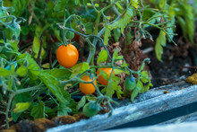 Close-up Landscape Gold Cherry Tomato On Vine With Blurred Background.