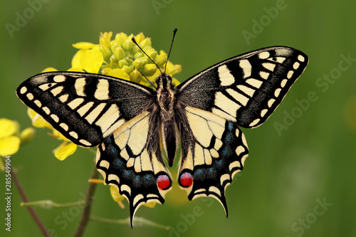 Fotomural Swallowtail butterfly ; Papilio machaon