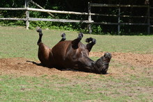 Smiling Horse Rolling