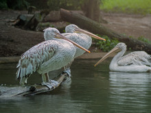 Portrait Of Pelican Couple Sit...