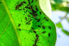 Ants Graze A Colony Of Aphids On The Inside Of The Leaf.