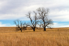 Three Bare Trees On Kansas Pra...