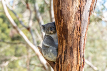 A Grey Koala Looking At The Camera Sits On A Tree Brach Against A Brown Tree Trunk In Victoria, Australia