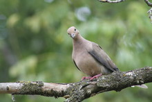 American Mourning Dove, Columb...