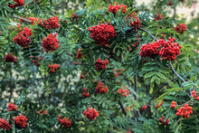 Ripe Red Mountain Ash On A Growing Tree