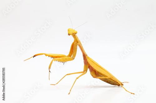 Fotografie, Obraz  Yellow praying mantis isolated on white background