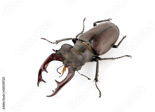 Leinwand Poster Male stag beetle, Lucanus cervus isolated on white background