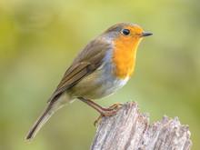 Red Robin Back Light Garden