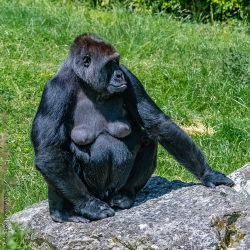 Gorilla, monkey, female sitting in the grass, portrait of a great ape Wallpaper Mural