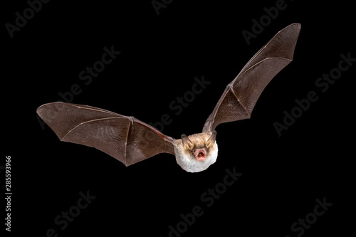 Fotografía  Flying Natterers bat isolated on black background