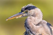 Grey Heron Close Up Of Head